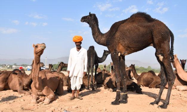 La foire du chameau à Pushkar et Jodhpur la bleue