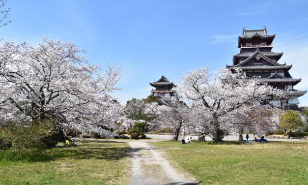Kyoto et les cerisiers en fleurs