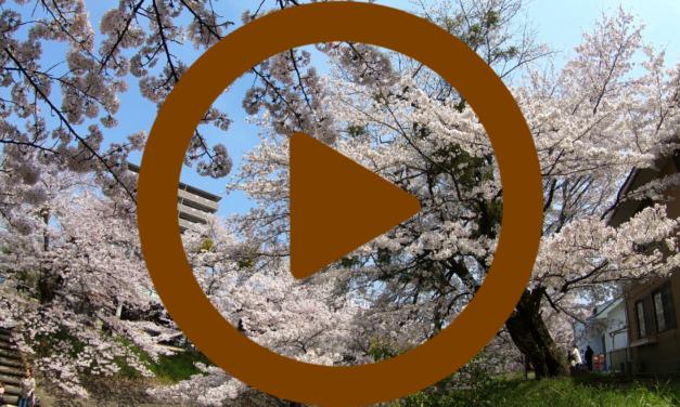 Vidéo – Japon: Cerisiers en fleur