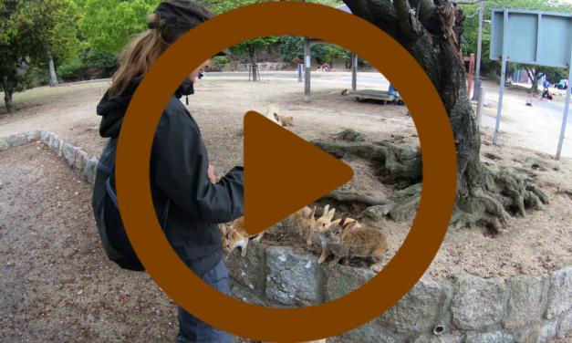 Vidéo – Japon: Carpes et Lapins